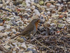 29 January 2012 Robin searching for food on the seashore.