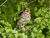 Song Thrush (Turdus philomelos). Copyright 2009 Peter Drury<br /> Naburn Lock, York