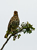 Song Thrush (Turdus philomelos). Copyright 2009 Peter Drury<br /> Southmoor, Langstone Harbour