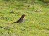 06 March 2011. Song Thrush on the Hayling Billy Trail. Copyright Peter Drury 2011