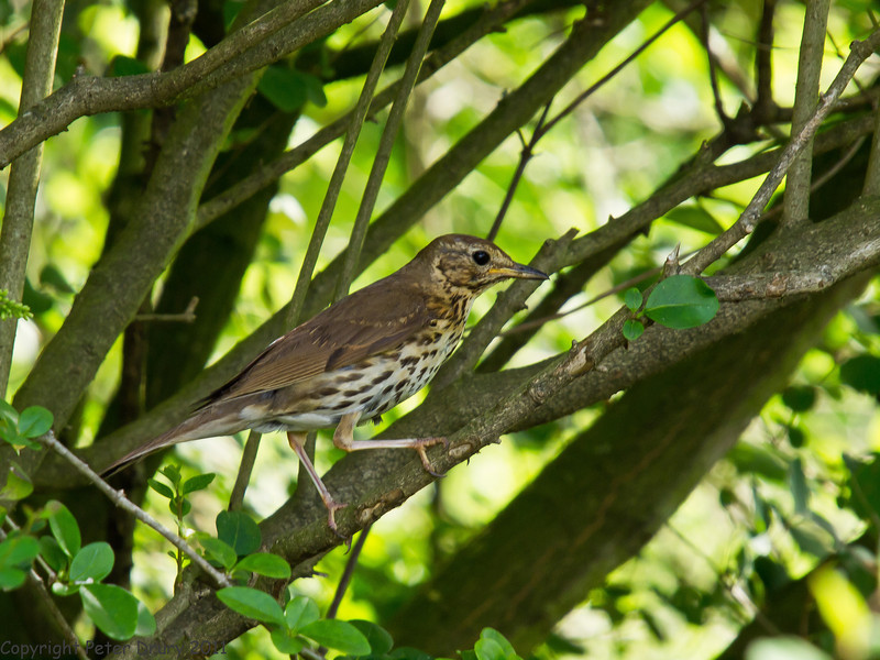 27 June 2011. Song Thrush at the Chalk Quarry. Copyright Peter Drury 2011