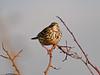Song Thrush (Turdus philomelos). Copyright 2009 Peter Drury