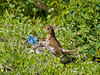 01 July 2011. Song Thrush at the Chalk Quarry. Copyright Peter Drury 2011