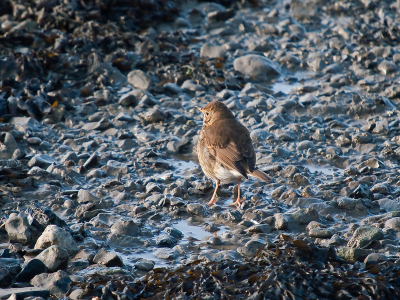 Song Thrush (Turdus philomelos). Copyright Peter Drury 2010<br /> On a freezing day, this Song Thrush had little choice but to search for food on Langstone Harbour sea front.