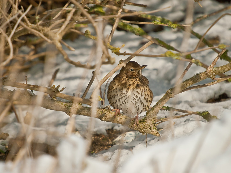 Song Thrush (Turdus philomelos). Copyright Peter Drury 2010<br /> Times are really tough for wildlife. With the unusual snowfall and cold weather in Langstone Harbour, food is a scarce thing to find. This bird had been searching amongst the seaweed for prey - the only area not frozen solid.