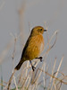 Stonechat (Saxicola torquata). Copyright 2009 Peter Drury