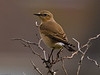 Wheatear (Oenanthe oenanthe)<br /> Southmoor, Langstone Harbour<br /> I do not often see these in bushes as they seem to prefer open ground.