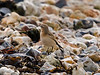 Wheatear (Oenanthe oenanthe). Copyright 2009 Peter Drury<br /> Southmoor, Langstone Harbour<br /> When the tide is out, they fly onto the shore, picking up bits of seaweed to disturb and find tasty morsels.