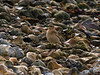 Wheatear (Oenanthe oenanthe). Copyright 2009 Peter Drury<br /> Southmoor, Langstone Harbour