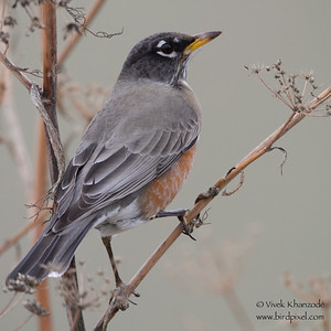 American Robin - Coyote Hills Regional Park, CA, USA