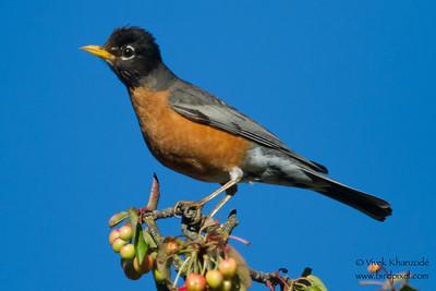 American Robin - Los Altos, CA, USA