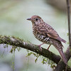 Bassian Thrush, Allyn River NSW