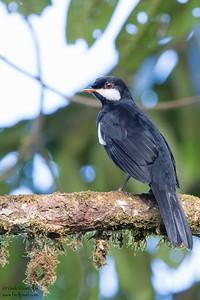 Black Solitaire - Mashpi, Ecuador