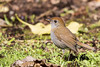 Black-billed Nightingale-Thrush - Los Quetzales Trail, Guadalupe, Panama