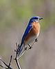 Eastern Bluebird @ Highbanks - April 2010