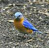 Eastern Bluebird @ Highbanks Metro Park