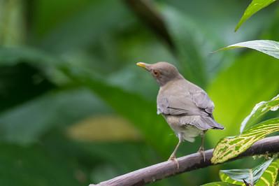 Clay-colored Thrush - Mindo, Ecuador