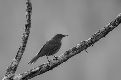 Clay-colored Thrush - Summit Ponds, Colon, Panama