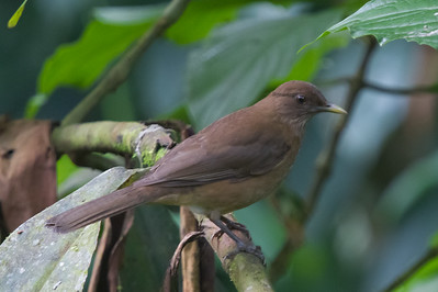 Clay-colored Thrush - Selva Verde, Costa Rica