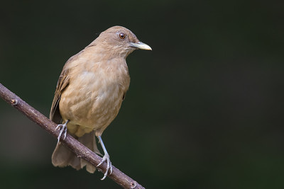 Clay-colored Thrush - Gamboa Rainforest Resort, Gamboa, Panama