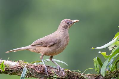 Clay-colored Robin - Alajuela, Costa Rica