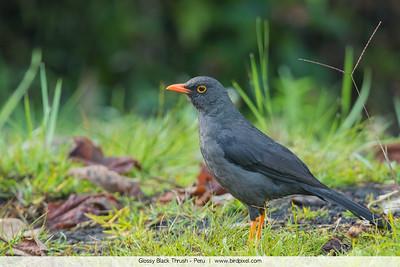 Glossy Black Thrush - Peru