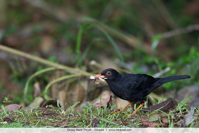 Glossy Black Thrush - Ecuador