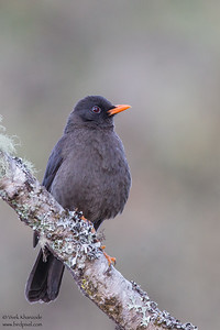 Great Thrush - Wayquecha Lodge, Peru