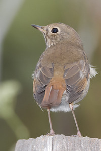 Hermit Thrush - Coyote Hills Regional Park, Fremont, CA, USA