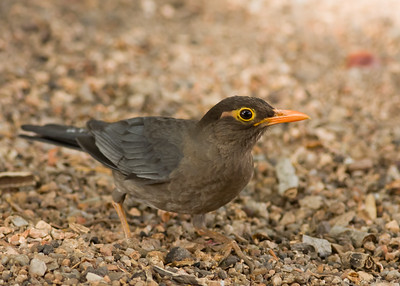 Indian Blackbird - Madhya Pradesh, India