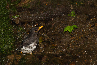 Japanese Thrush - Record - Nr. Lake Yamanakako, Yamanishi Prefecture - Japan