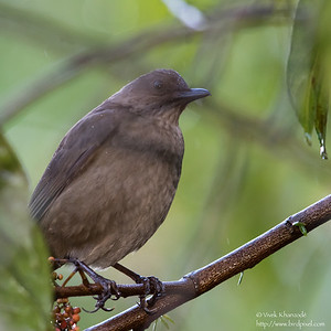 Mountain Thrush - Record - Los Quetzales Lodge, Guadalupe, Panama