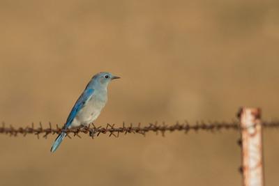 Mountain Bluebird - Record - Panoche, CA, USA