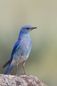 Mountain Bluebird - Male - Kyburz Flats, Near Sierraville, CA, USA