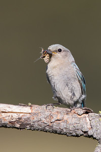 Mountain Bluebird - Female - Kyburz Flats, Near Sierraville, CA, USA