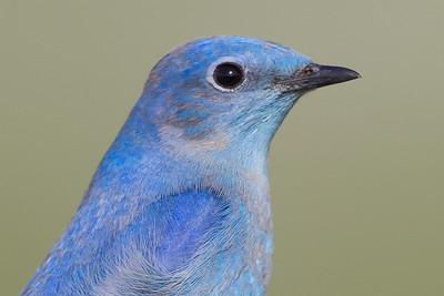 Mountain Bluebird - Panoche Valley, CA, USA