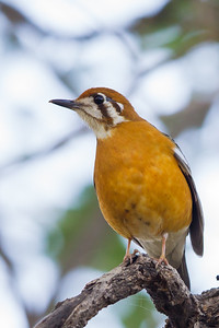 Orange-headed Thrush - Ambazari garden, Nagpur, India