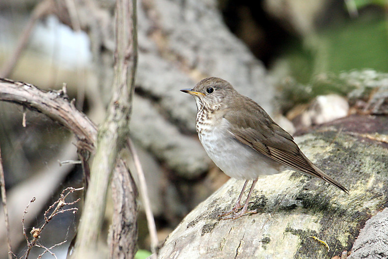Swainson's Thrush @ Magee Marsh WA - May 2010