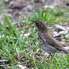 Swainson Thrush @ Magee Marsh Wildlife Area - May 2009