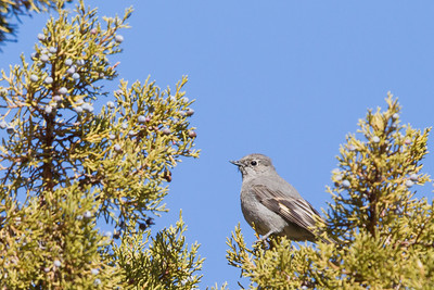 Townsend's Solitaire - Eagle Lake - Nr. Susanville, CA, USA