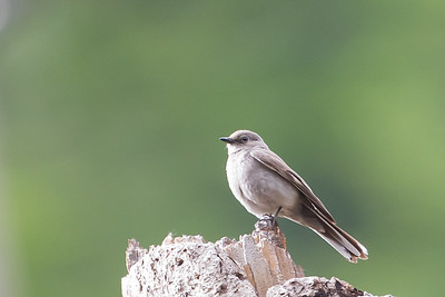 Townsend's Solitaire - SNFC SFSU, Near Bassetts, CA, USA