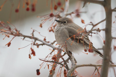 Townsend's Solitaire - Duluth, MN, USA