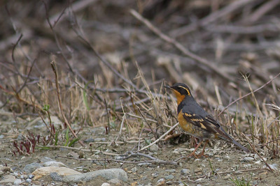Varied Thrush - Nome, AK, USA