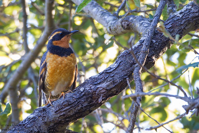 Varied Thrush - Cupertino, CA, USA