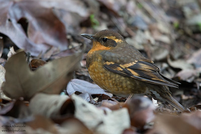 Varied Thrush - Santa Cruz, CA, USA