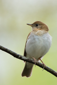 Veery - Mt. Pleasant, MI, USA