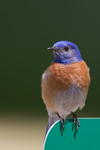 Western Bluebird -McClellan Ranch, Cupertino, CA, USA