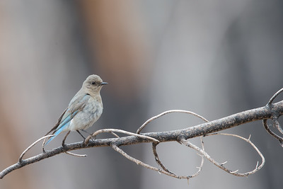 Western Bluebird - Female - Near Sisters, OR, USA