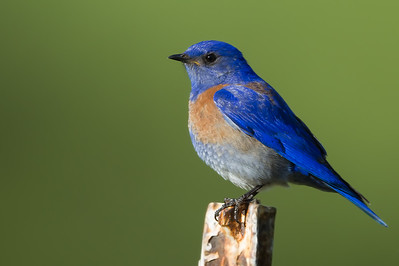 Western Bluebird - Make - Dry Creek Pioneer Regional Park, Hayward, CA, USA