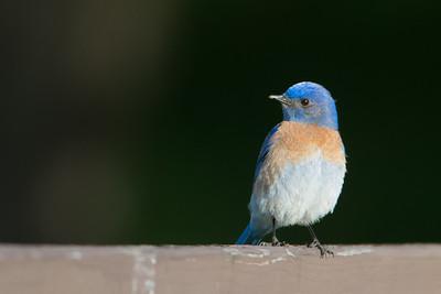 Western Bluebird - Hayward, CA, USA